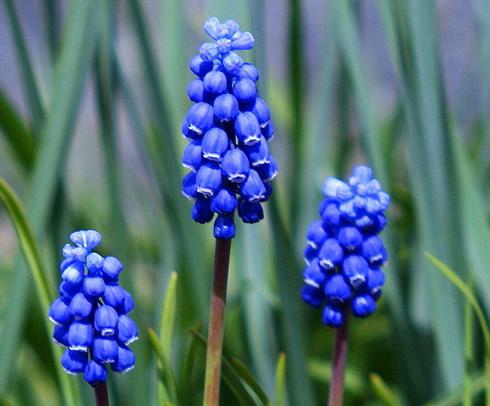 Hyacinth Type Perennial Flower