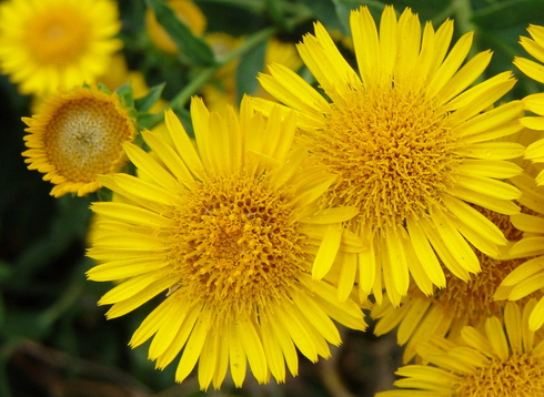 Inula Flower Types Of Inula