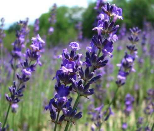 lavender flower, garden lavender, Natural flower