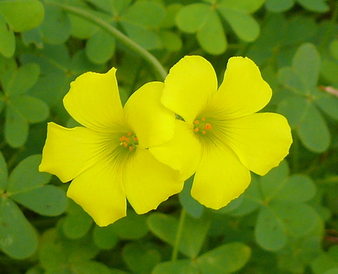 Oxalis flower types of oxalis oxalis flower type perennial flower mightylinksfo