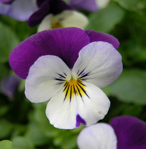 pansy flower types of pansy