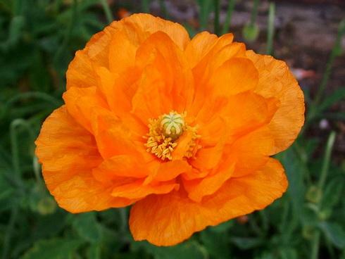 Цветок папавер