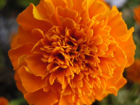 Tagetes flower types of tagetes type annual flower perennial flower species 51 height 50 22 m growing usa mexico flowers white orange yellow kingdom plantae mightylinksfo