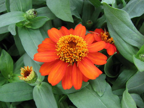 Zinnia Flower on Zinnia Flower  Types Of Zinnia
