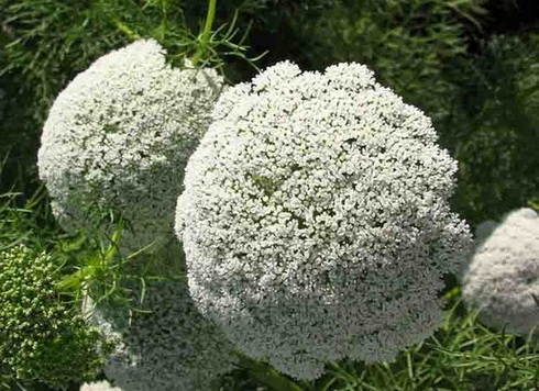 ammi  ammi flower, garden ammi, Natural flower