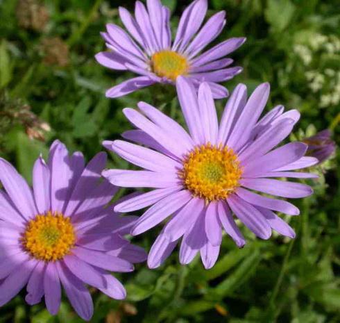 Aster Flower. Type: Perennial Flowers