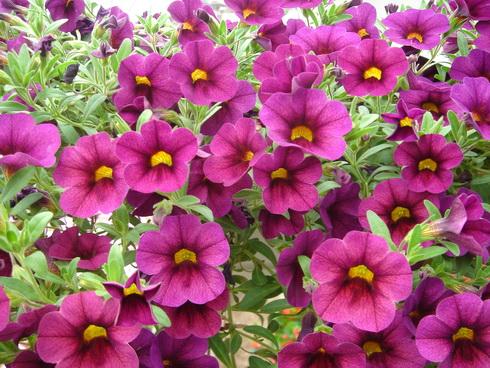 Calibrachoa flower garden calibrachoa - Calibrachoa perenne ...