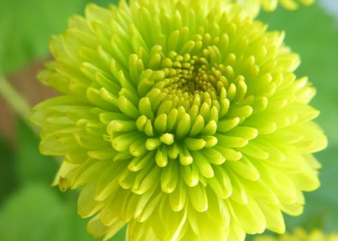 Chrysanthemum flower types of white chrysanthemum chrysanthemum flower mightylinksfo