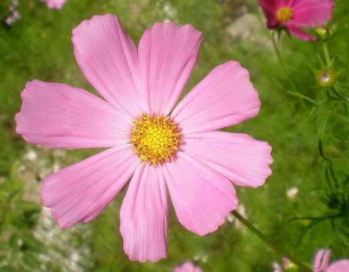 Cosmos Flower Types Of Cosmos