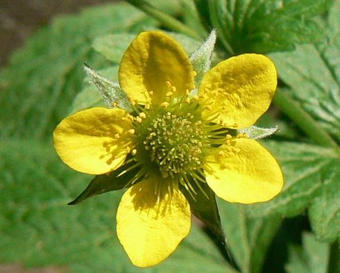 Geum flower garden geum geum type annual flower perennial flower mightylinksfo