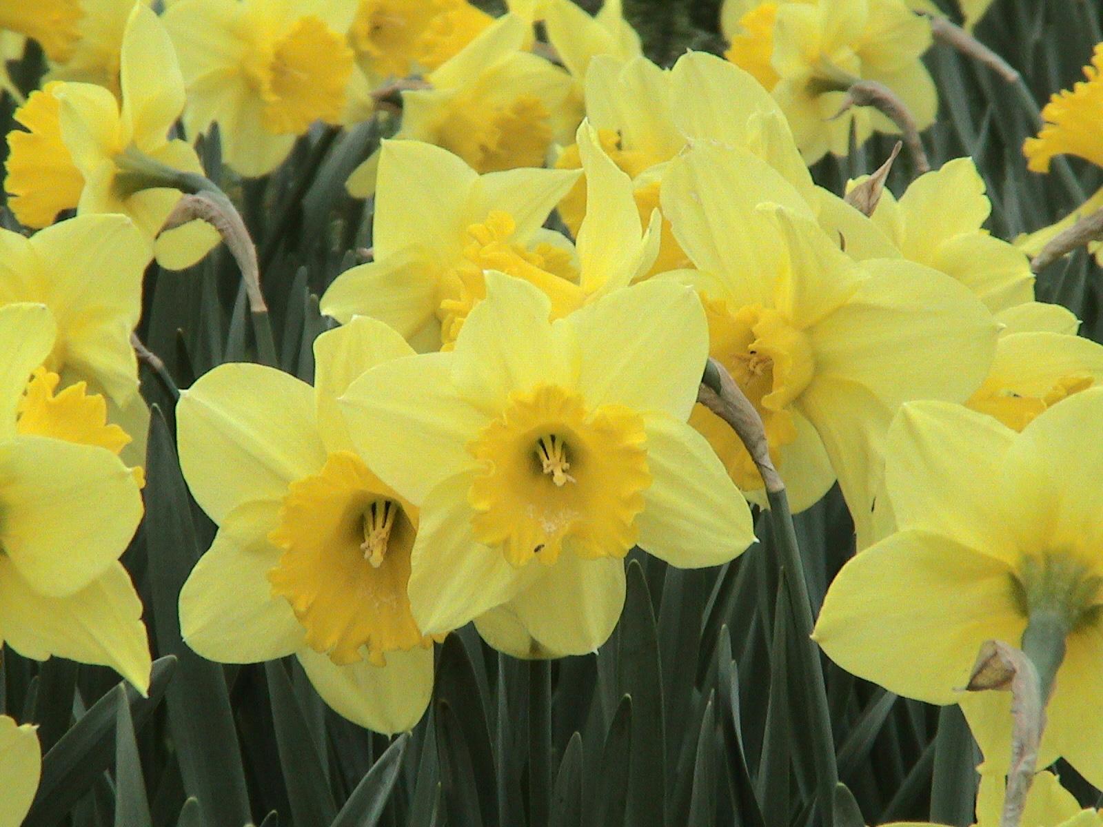 Blooming habits tulips irises and daffodils flowers blooming habits daffodils mightylinksfo