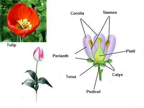 Functions of flower parts flower structure functions of flower parts ccuart Image collections