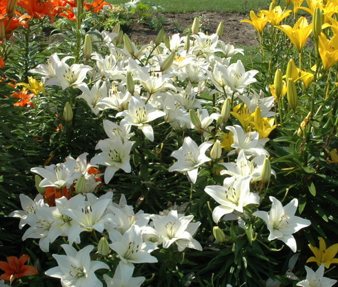 garden of lilies  terms of flowering and colouring of flowers, Natural flower