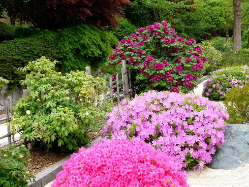 garden of peonies  terms of flowering and colouring of flowers, Natural flower