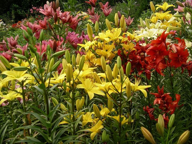 Garden plants flowering places of original cultivation for Landscape flowers and plants