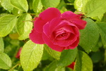 Rose Cultivation