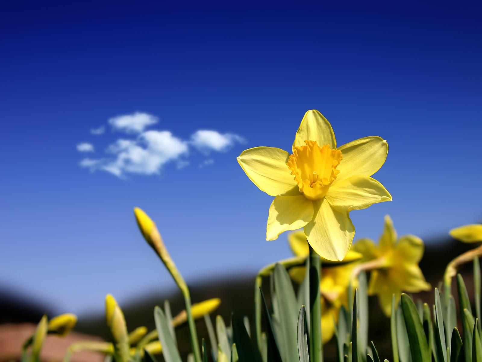 Daffodils - Poem by James McLain