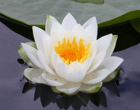 Lotus Flower Garden Lotus