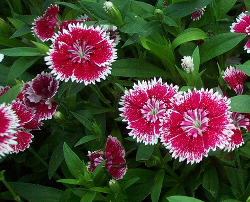 Dianthus Flower Types Of Dianthus